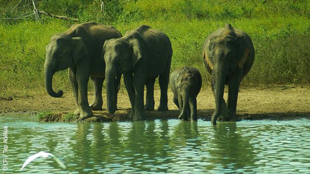 réserves animaux éléphants au Sri Lanka