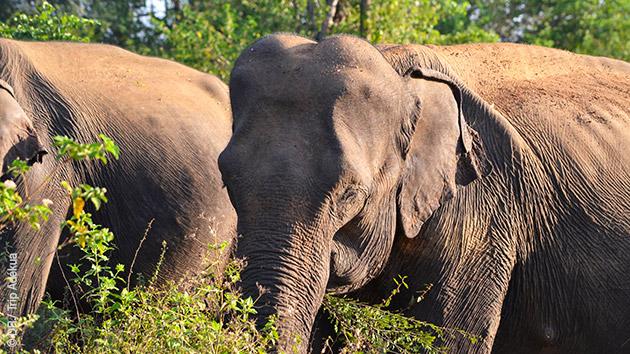 Des rencontres majestueuses avec les éléphants à Udawalawe, des randonnées mémorables dans les parcs nationaux du Sri Lanka