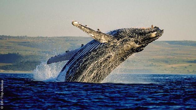 Un safari trek pour au départ de Hermanus salué par les baleines