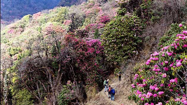 Circuit trek au coeur de forêts de rhododendrons au Népal