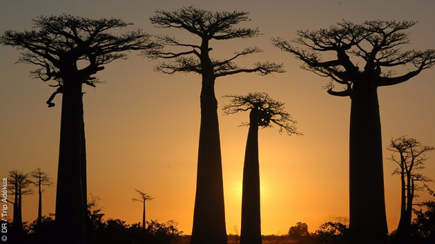 Les baobabs vous accompagnent au long de votre trek à Madagascar, entre les Tsingy de Bemaraha et le Massif du Makay